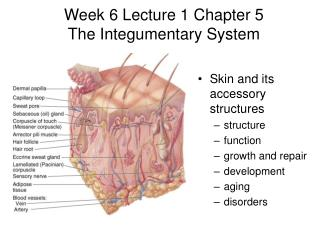 Week 6 Lecture 1 Chapter 5 The Integumentary System