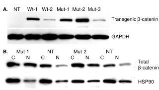 Transgenic β-catenin