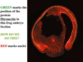 GREEN  marks the position of the  protein  fibronectin  in  this frog embryo  Section HOW DO WE