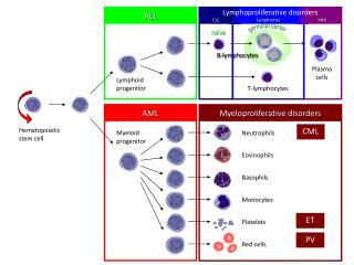 Hematopoietic stem cell