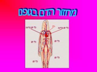 מחזור הדם בגופנו