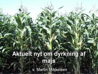 Aktuelt nyt om majs