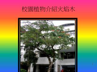 校園植物介紹火焰木