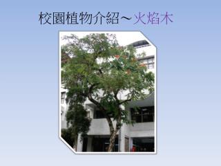 校園植物介紹~ 火焰木