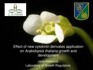 Effect of new cytokinin derivates application on  Arabidopsis thaliana  growth and development