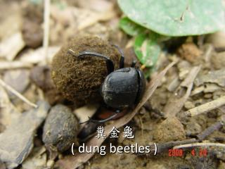糞金龜 ( dung beetles )