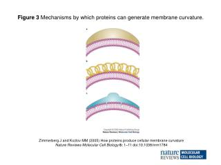 Zimmerberg J and Kozlov MM (2005) How proteins produce cellular membrane curvature
