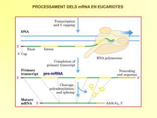 PROCESSAMENT DELS mRNA EN EUCARIOTES