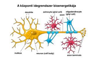 A központi idegrendszer bioenergetikája