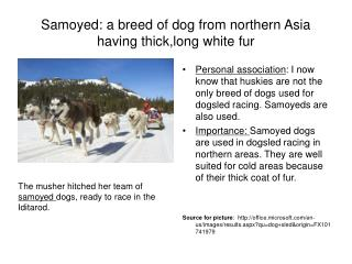 Samoyed: a breed of dog from northern Asia having thick,long white fur