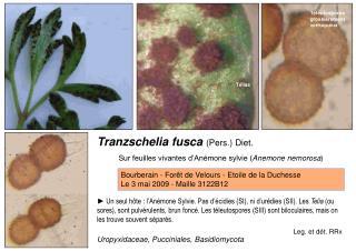 Tranzschelia fusca  (Pers.) Diet.