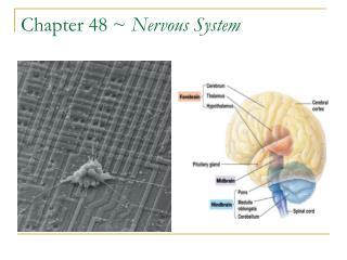 Chapter 48 ~  Nervous System