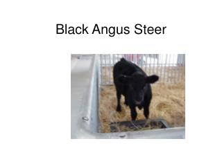 Black Angus Steer