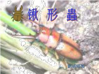 锹   形   蟲