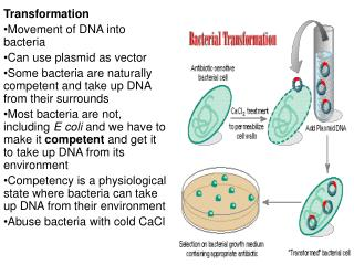 Transformation Movement of DNA into bacteria Can use plasmid as vector