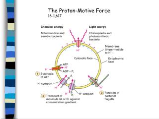 The Proton-Motive Force 16-1,617