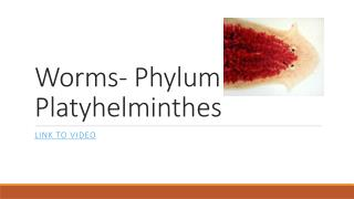 Worms- Phylum Platyhelminthes