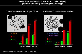Bone marrow cells from PARP-1 KO mice display genomic instability following DNA damage