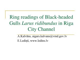Ring readings of Black-headed Gulls  Larus ridibundus  in Riga City Channel