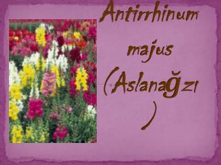 Antirrhinum majus (Aslanağzı)