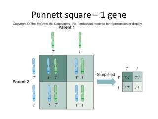 Punnett  square – 1 gene