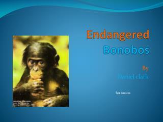 Endangered Bonobos