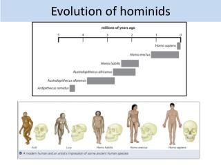 Evolution of hominids
