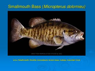 Smallmouth Bass Micropterus dolomieu