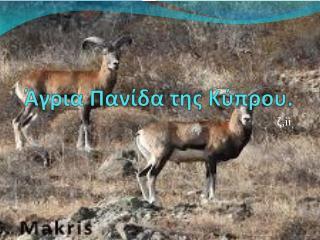 Άγρια Πανίδα της Κύπρου.