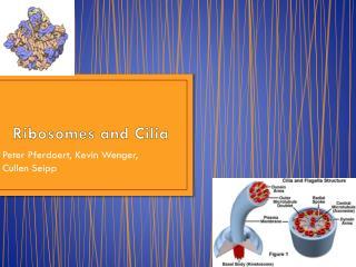Ribosomes and Cilia