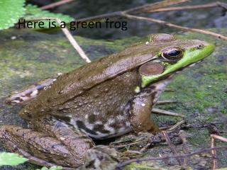 Here is a green frog