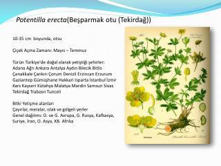 Potentilla erecta (Beşparmak otu (Tekirdağ))