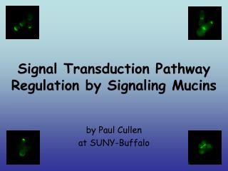 Signal Transduction Pathway Regulation by Signaling Mucins