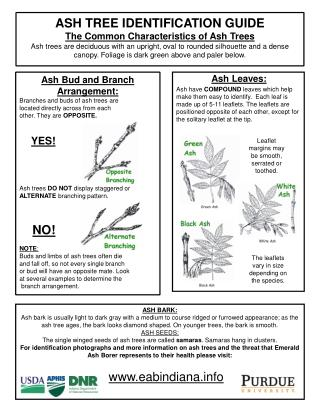 Ash Bud and Branch Arrangement: Branches and buds of ash trees are