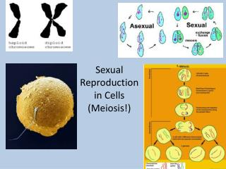 Sexual  Reproduction  in Cells (Meiosis!)