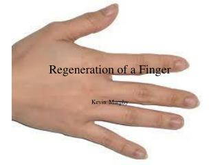 Regeneration of a Finger
