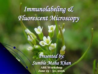 Immunolabeling   Fluorescent Microscopy