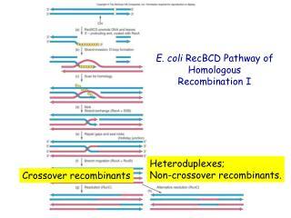 E. coli  RecBCD Pathway of Homologous  Recombination I