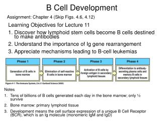 B Cell Development