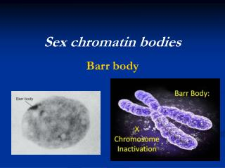 Sex chromatin bodies Barr body