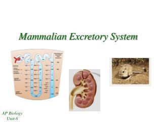 Mammalian Excretory System