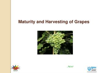 Maturity and Harvesting of Grapes