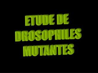 ETUDE DE  DROSOPHILES MUTANTES