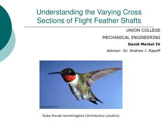 Understanding the Varying Cross Sections of Flight Feather Shafts
