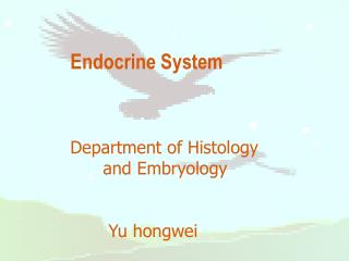 Endocrine System Department of Histology        and Embryology        Yu hongwei