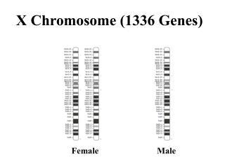 X Chromosome (1336 Genes)