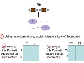 1.  Using the picture above, explain Mendel's Law of Segregation.