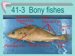 41-3  Bony fishes