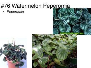 #76 Watermelon Peperomia