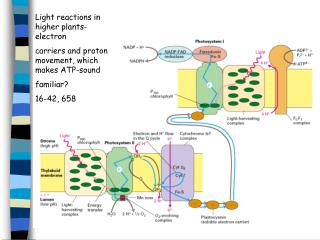 Light reactions in higher plants-electron carriers and proton movement, which makes ATP-sound